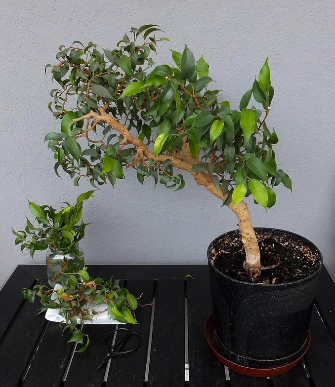 przycinanie bonsai