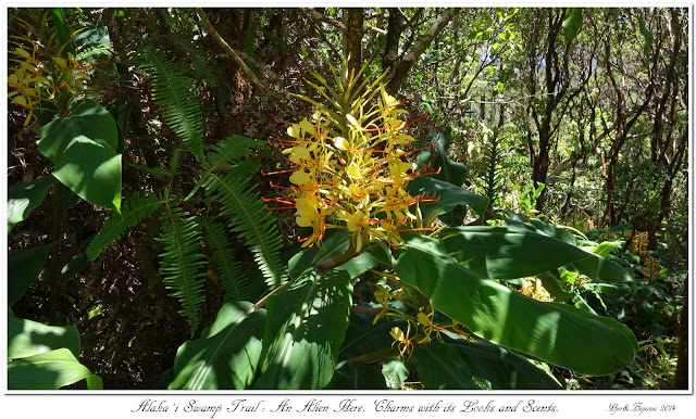 Alaka'i  Swamp Trail: An Alien Here. Charms with its Looks and Scents.