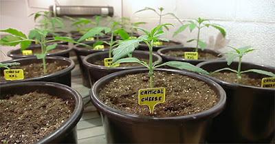plántulas de marihuana
