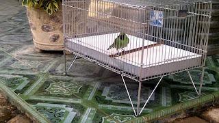 Burung Cucak Hijau - Tips Merawat Burung Cucak Hijau Agar Tampil Ngetrok