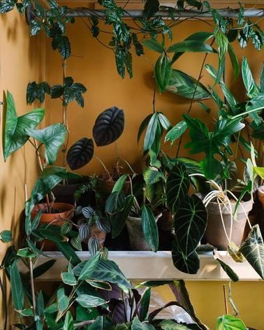 Plantas verdes de interior en maceta