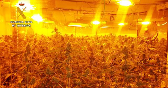 marihuana localizada por la guardia civil en seseña