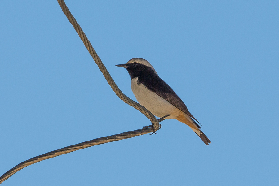 Eastern Mourning Wheatear