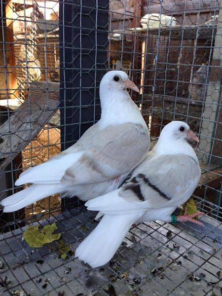 Pigeon Racing In Philippines The Next Big Thing Dominant