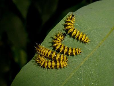 Molippa flavodiosiana caterpillar