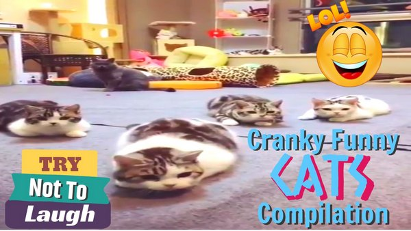 Funniest cranky funny cats Funpetvid