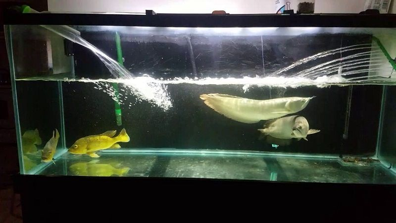 Gambar Pelan Pelan Saat Mengurangi Air Maupun Menambahkan Air - Cara Mengatasi Ikan Arwana Yang Mogok Makan
