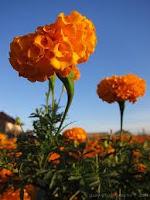 bunga marigold, benih bunga
