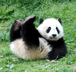Foto de un oso panda de espalda