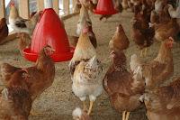 cara usaha ayam petelur, bisnis ayam petelur, cara bisnis ayam petelur, ayam petelur, ternak ayam