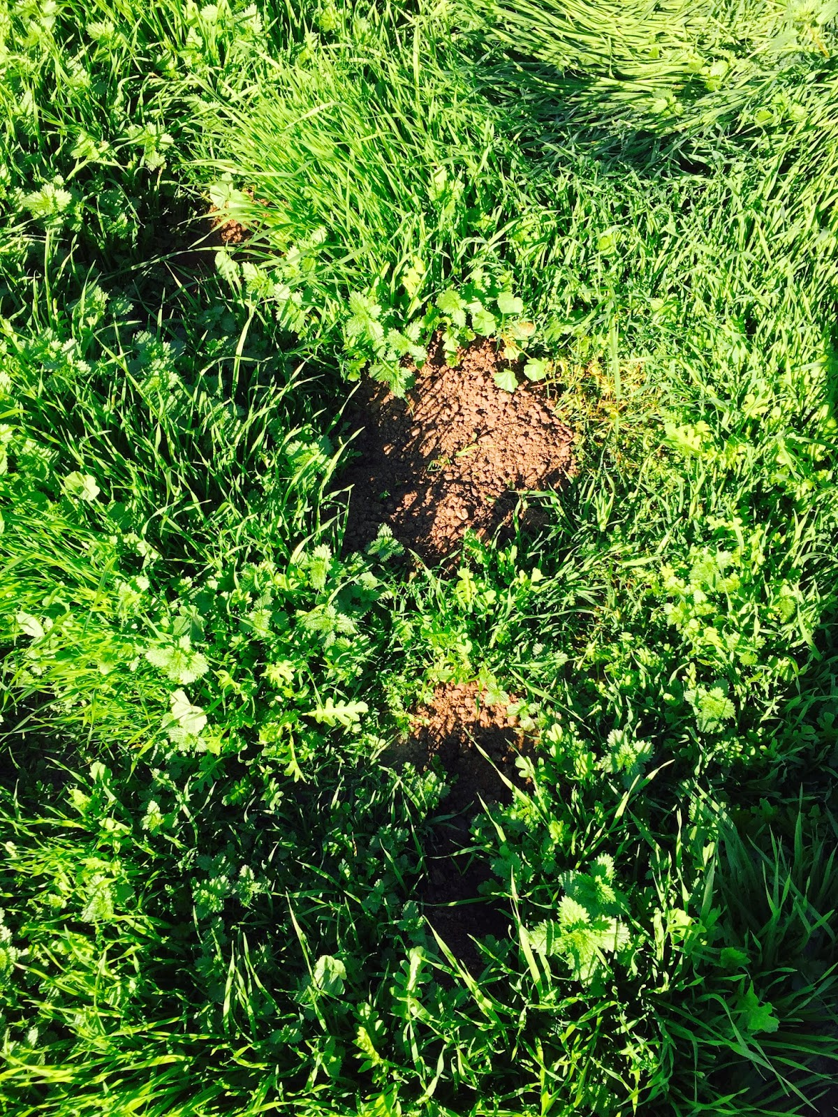 gopher mounds, get rid of burrowing rodents