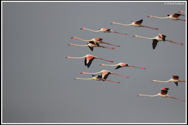 Photo finish race...Greater Flamingo
