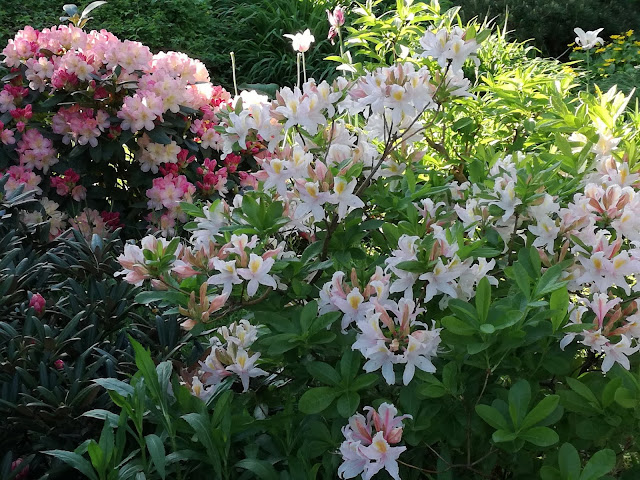 rhododendron Jack a. Sand and Percy Wiseman