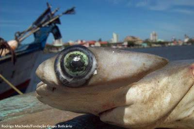 Tubarão, extinção, tubarões, arraias, raias, pesca de tubarão e raias, pesca de raias, pesca, ameaçados de extinção, ataque de arraias, ataque tubarões