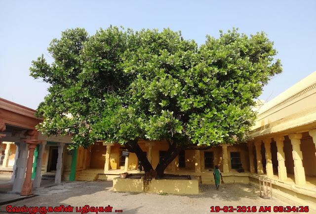 Punnai Tree
