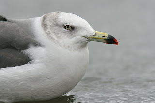 Photo of Black-tailed Gull in Newfoundland