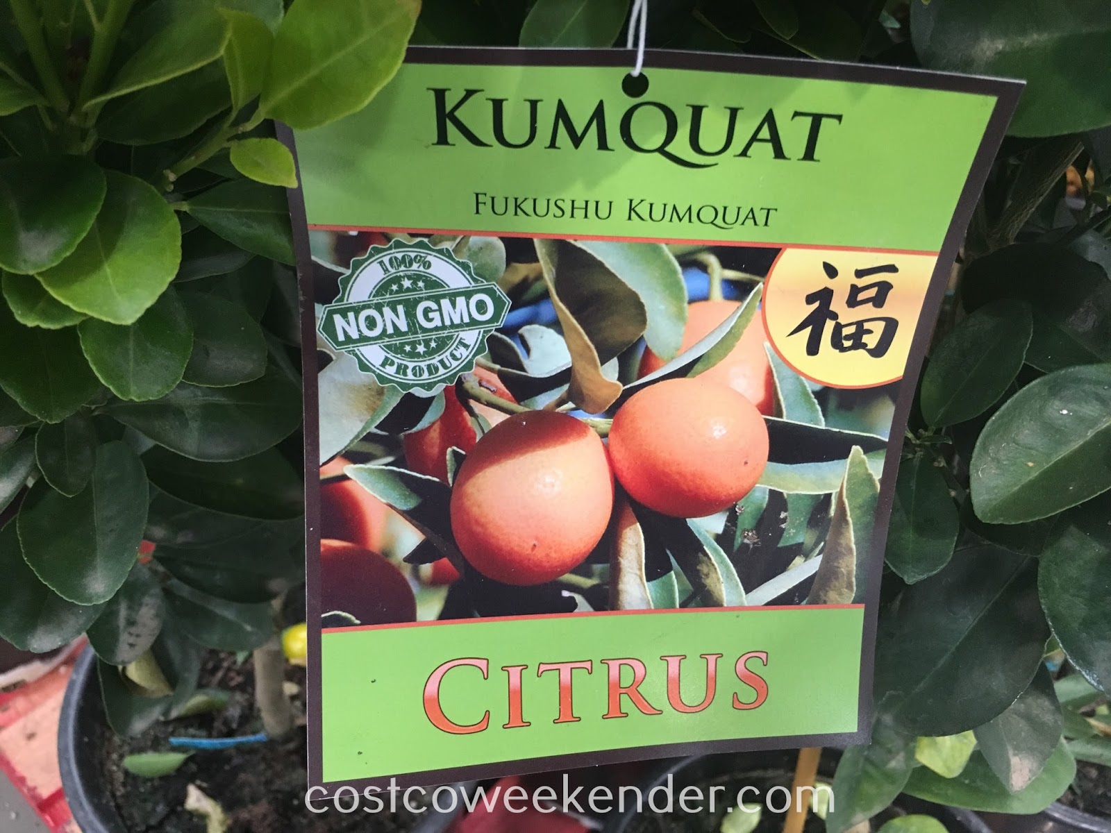 Fukushu Kumquat - great as a healthy snack