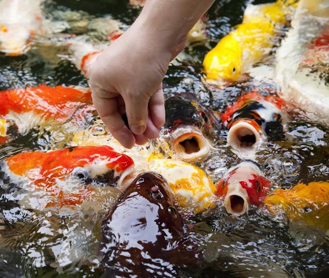 Panduan Lengkap Cara Mudah Dan Praktis Budidaya Ikan Hias Air Tawar Inphedia Id