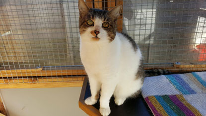 Older cat Mishka from Cats Protection's Crawley, Reigate & District Branch