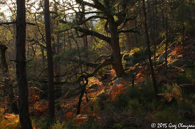 Chêne du Mont Ussy, Fontainebleau, (C) 2015 Greg Clouzeau