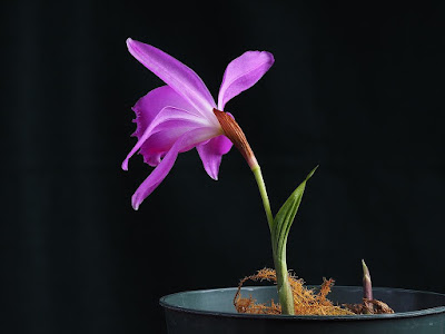 Pleione aurita care and culture