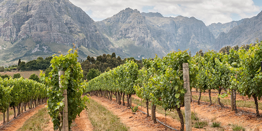 south african wine vineyard