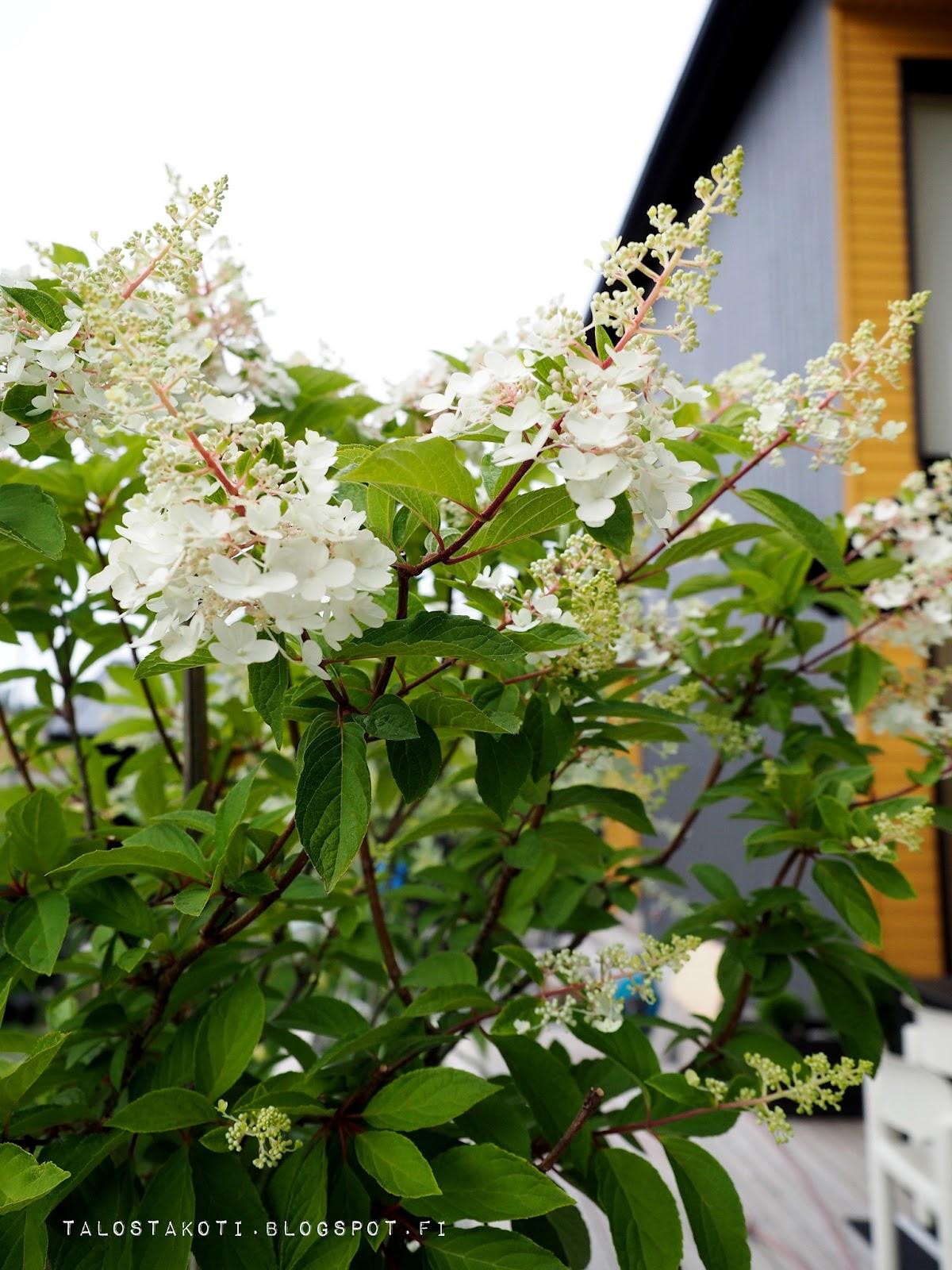 Syyshortensia, puutarha, piha