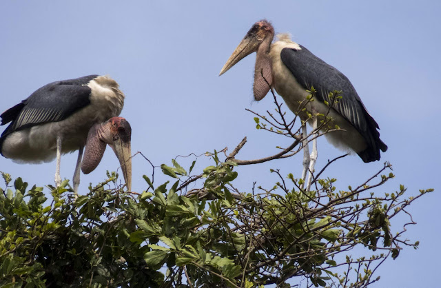 Marabou storks in Entebbe Botanical Garden in Uganda