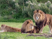 Mengejutkan, Dua Singa Jantan Tertangkap Kamera sedang Kawin