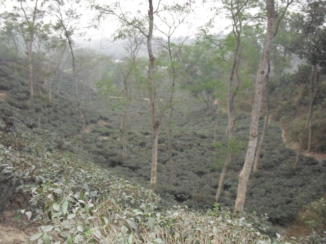 Malnicherra-Tea-Estate