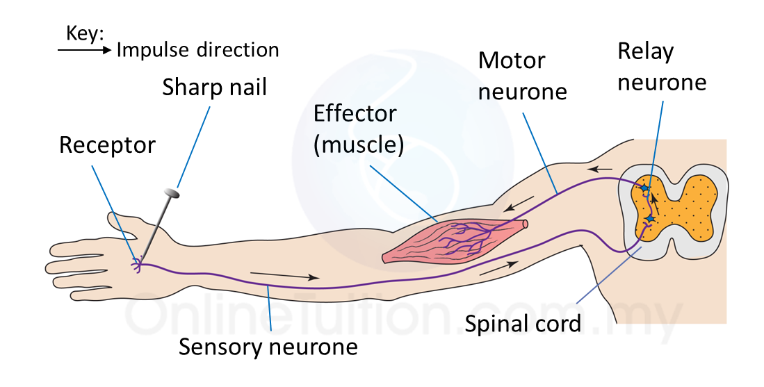23 nervous coordination spm science example of reflex action when hand is pricked by a sharp nail ccuart Image collections
