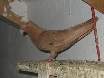 Rouleur de Bihac - pigeons - fancy pigeons