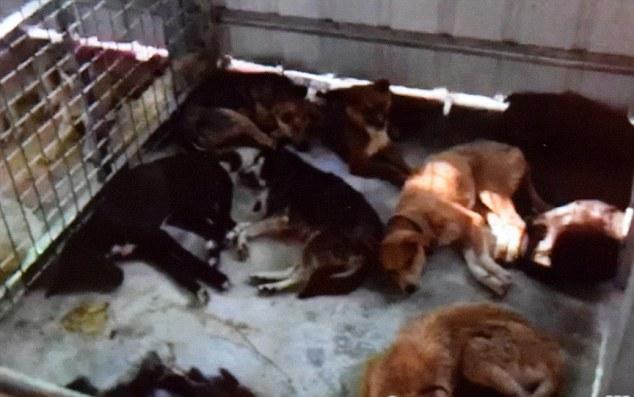 Cái kết gây phẫn nộ cho những chú chó được giải cứu khỏi những lò mổ ở Trung Quốc