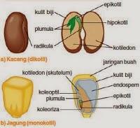 Struktur Biji Monokotil dan Dikotil