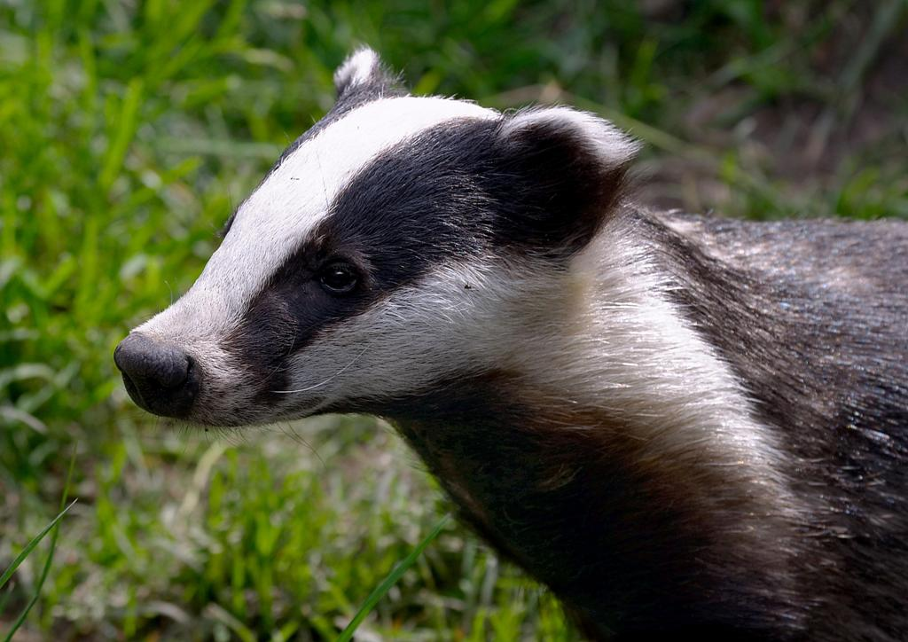 Wildlife Of The World American Badger Facts Photos