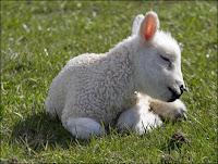 sleepy lamb