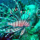 Experts To Discuss Lionfish Invasion At Florida Summit Oct. 22-24