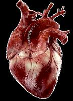 Heart (jantung)
