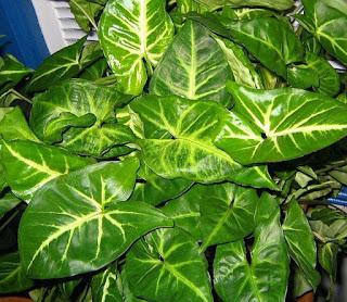 tanaman hias syngonium