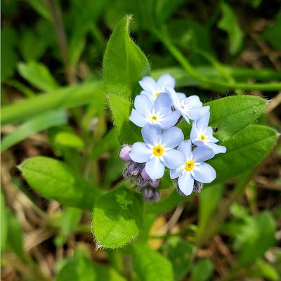 May 14, 2018 Walking at lunch on a forest floor covered in forget-me-nots