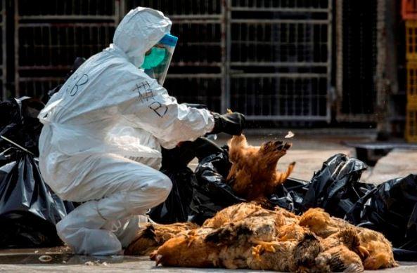 Ratusan Ayam Petelur Mati