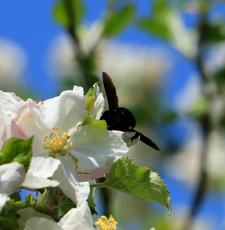 Passion-Apiculture. Le blog de l'Abeille Pat: Les pommiers ...