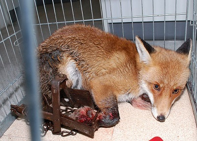 Jäger sind Tierquäler – Beispiel Fuchs