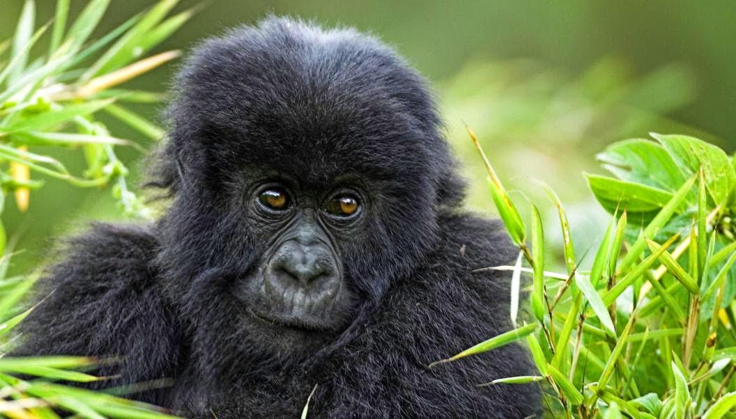 Los gorilas, primates
