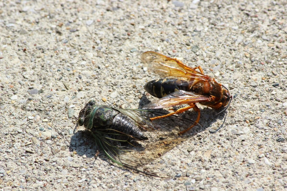 how to get rid of cicada killer wasps naturally