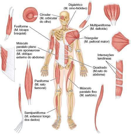 Biología 2do: Ficha 16: Tipos de músculos esqueleticos.