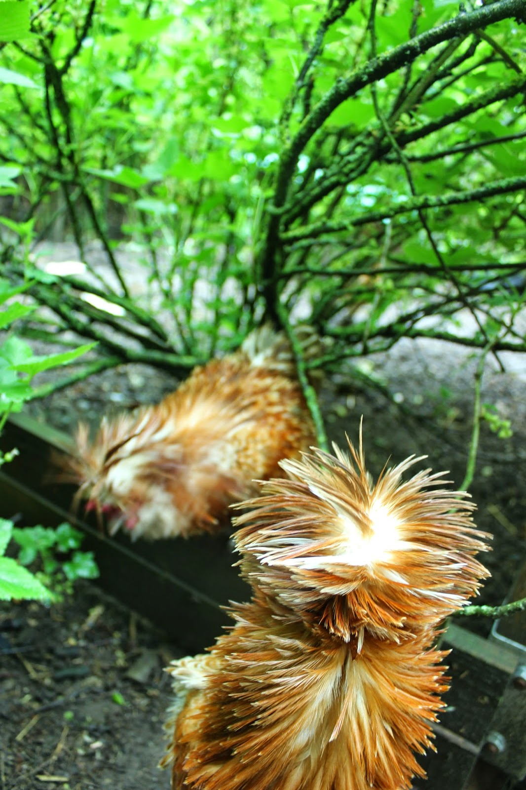 Frizzled chamois polish roosters in the rain in an organic forest garden