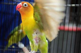 Khasiat/Manpaat Dan Harga Terbaru Vitamin Burung Lovebird Agar Ngekek Panjang