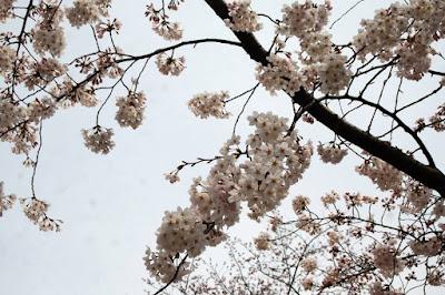 Sakura Flower in Ueno Park Japan