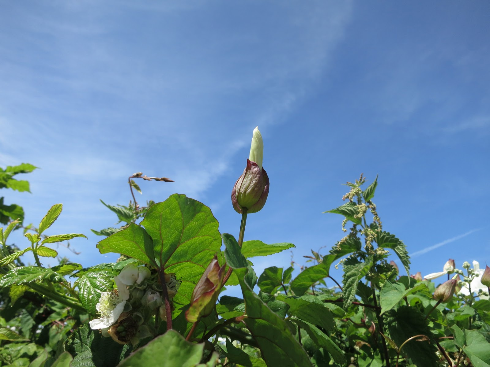 Flower bud of wild convolvulus against blue sky with contrails.